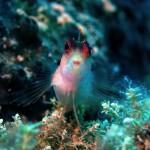 Roter Spitzmaul-Schleimfisch
