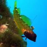 Gelber Spitzmaul-Schleimfisch